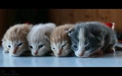 20090511_9999_79b (Fantasyfan.) Tags: baby pets cute animals topv111 topv2222 tag3 taggedout four idiot furry topv555 topv333 tag2 tag1 topv1111 small topv999 fluffy kittens topv777 lined rupi fantasyfanin mätäpaise highqualityanimals siirretty