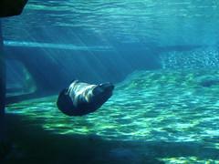 Sea Lion (CaesarNC) Tags: swimming olympus louisville sealion e510 louisvillezoo