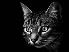 Cat, black and white (Eduardo Estéllez) Tags: life light blackandwhite bw españa monochrome cat photoshop photography monocromo photo spain eyes moments foto photographer gato gata fotografia fotografo vetonia catblackandwhite eduardocagney eduardoestellez estellez