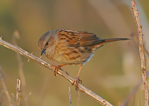 Hedge Accentor - Prunella modularis