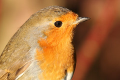 Robin / 2000+ People have viewed this image :) (Terry M1) Tags: park red detail bird robin canon 350d terry mcbride stockgrove