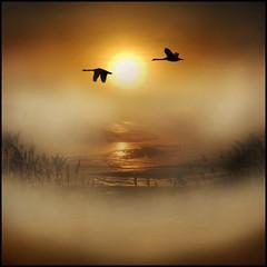 A winters tale (adrians_art) Tags: mist reflection birds fog sunrise reeds dawn wings flight silhouettes swans riverbank riverdarenth