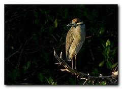 Yellow Crowned Night Heron (Nature Photos by Scott) Tags: wild bird heron nature birds florida birding sanibelisland nwr dingdarling nightheron yellowcrownednightheron wiildlife dingdarlingnwr scotthelfrichphotographycom