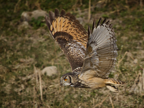 Indian eagle owl - Adult in flight