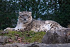 Snow Leopard, at rest (lakesly) Tags: dublin zoo outdoor 135mm imagespace:hasdirection=false