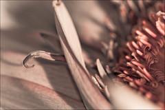365:32 (KeelHauled Mike) Tags: macro flowersplants keelhauledmike 365community 365