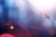 allein im wald (~janne) Tags: winter light sun berlin forest 50mm licht dof purple bokeh olympus flare blatt sonne wald januar wetzlar leitz janusz summiluxr e520 ziob
