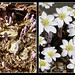 Phases of Bloodroot (Sanguinaria canadensis)