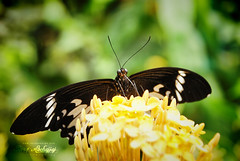 Black Butterfly (Tareq Abuhajjaj   Photography & Design) Tags: park white black green butterfly photography design photo nice nikon natural ben malaysia arabia kuala van lumpur  2010 ksa tareq wijnen    tareqdesigncom tareqmoon tareqdesign  abuhajjaj