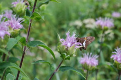 Silver-spotted Skipper on Wild Bergamot (moonwatcher13) Tags: bergamot lamiaceae wildflowers mlkpark whiteoak maryland d40 moth epargyreusclarus silverspottedskipper wildbergamot monardfistulosa hesperiidae identified