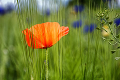 Try To Hide Behind Wheat (Alfred Grupstra) Tags: nature flower plant summer poppy red field beautyinnature flowerhead outdoors meadow springtime petal yellow blossom season multicolored greencolor grass ruralscene wheat