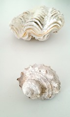 Seashells from Red Sea (mia_mardamshin) Tags: sea seashells fruitsofnature sinai