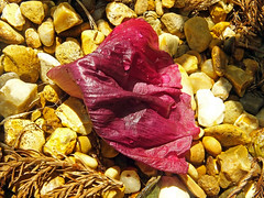 Fallen Poppy Petal (Cornishcarolin. Problems posting thanks xxx) Tags: cornwall penryn flowers petals nature