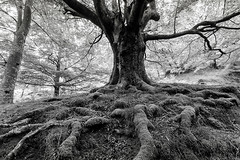UDABEKO PAGOA 1 (juan luis olaeta) Tags: paisages landscape forest bosque pagoa arbol canon sigma1020 blakwhite zuribeltz blancoynegro photoshop