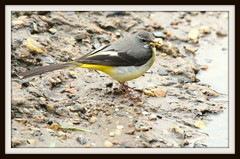 GREY WAGTAIL (merseymouse) Tags: greywagtail rivers birds nature