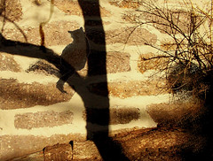 Sunset shadow (Clouvux) Tags: cat shadow tree stonewall treetrunk nature sunset catshadow trunk