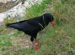 Chough-Ed! ('cosmicgirl1960' NEW CANON CAMERA) Tags: bird avian chough red beak legs green grass black llanddwyn island anglesey ynysmon wales cymru nature yabbadabbadoo