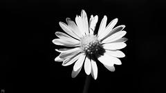 Black and White Macro (YᗩSᗰIᘉᗴ HᗴᘉS +6 500 000 thx❀) Tags: 7dwf blackandwhite bw flower macro daisy hensyasmine