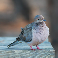 Mourning Dove (W + S) Tags: keywest floridia fl bird nature birdwatching birds birdlover birding key west park state historic taylor zachary fort mourning dove cute