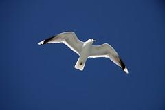 Norway - Jonathan (Alfredo Liverani) Tags: seagulls norway norge jonathan seagull gull gulls fjord mwe fiord gabbiano norvegia livingston fiordo fjorden noreg jonathanlivingston sognefjorden