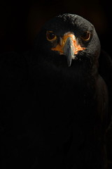 Black Eagle (Another Timothy) Tags: black eagle spier blackeagle