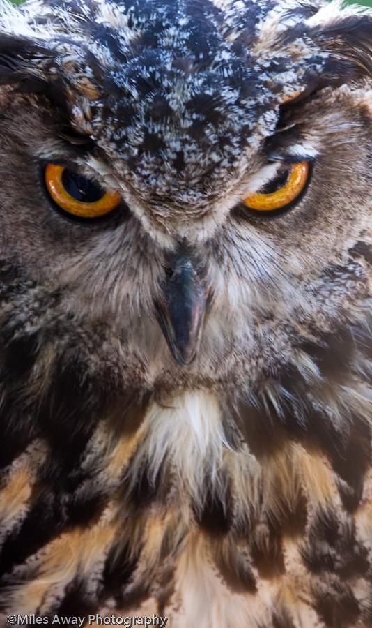 Eurasian Eagle Owl -It's time for a showdown!