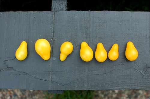 7 yellow pear tomatoes