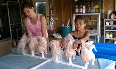 Bagging the pasture raised chickens