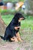 20100730-_DSC3625 (yhsellshortoo) Tags: puppy virginia backyard aurora fallschurch hovawart sd9 fairfaxcounty broyhillpark sc28 sb900 ambercoasthovawarts ambercoastauroraonappalachia rrsb91b