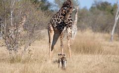 Wild dog and Giraffe, Moremi Game Reserve (Obliot) Tags: africa park dog animal canon bush wildlife safari giraffe botswana moremi 70200 f28 ef wilddog savana 50d ef70200mm28lisusm