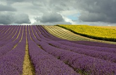 Lavender & Cloud (judepics) Tags: uk field clouds day cloudy lavender sunflowers hertfordshire hitchin supershot hitchinlavenderfarm gettyimagesuklocation welcomeuk