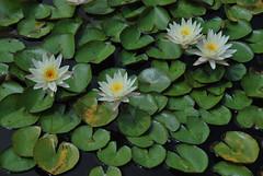 Lemon Scent (thoth1618) Tags: nyc newyorkcity ny newyork flower water brooklyn garden waterlily lily bbg brooklynbotanicgarden botanicgarden nymphaea brooklynny cultivar brooklynusa lemonscent hardywaterlily