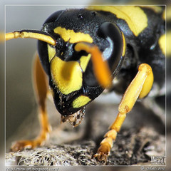 EXPLORE --- Portrait de gupe ---  Wasp portrait (Rached MILADI -  ) Tags: macro nature colors beautiful animal plante insect wasp awesome vert panasonic papillon tableau animaux better tunisie insecte insectes tableaux flore dcr faune cration graphisme graphique gupe   dcr250 raynox    rached animal     modemacro   miladi  natureselegantshots rachedmiladi   oltusfotos fz38 dmcfz38 macrofz38