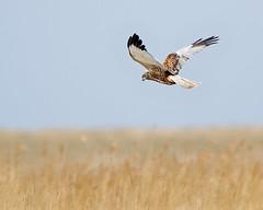 Marsh Harrier (Andrew Haynes Wildlife Images) Tags: bird nature wildlife norfolk nwt marshharrier cleymarsh canon7d ajh2008