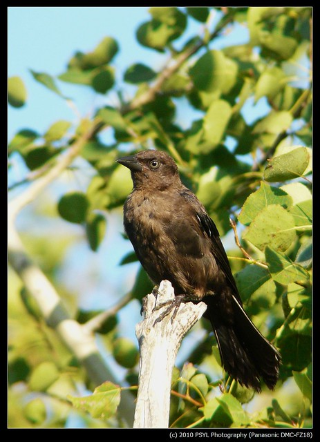 Brown-headed Cowbird juvenile (Molothrus ater)