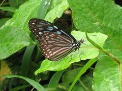 Victoria Peak Butterfly