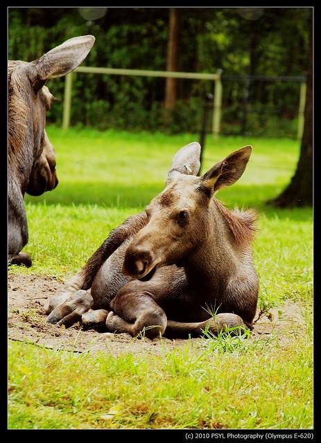 American Moose (Alces alces americana)