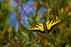 Day 247 - Butterfly Bokeh (dcis_steve) Tags: blue sky yellow butterfly insect bokeh 365 project365