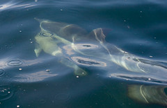 Short Beaked Common Dolphin (Delphinius delphis) 30 Aug-10-18723 (tim stenton www.TimtheWhale.com) Tags: skye mammal scotland dolphin minch delphinus gairloch westerross cetacean commondolphin delphinidae delphis shortbeakedcommondolphin odontocetes delphiniusdelphis hebrideanwhalecruises