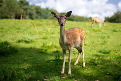 """what are you looking at?"" (Dennis_F) Tags: park blue wild sky green nature grass animal forest essen eating wildlife sony natur himmel sigma deer gras bambi blau fullframe dslr 50 wald reh tier 50mmf14 fressen wildpark sigma50mm sigmalens a850 festbrennweite sonyalpha sonydslr vollformat sigma5014 sigma50mmf14 sigmaobjektiv dslra850 sonya850 sonyalpha850 alpha850"
