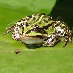 Groene Kikker - Green Frog (Cajaflez) Tags: green nature groen frog kikker topshots mywinners natureselegantshots saariysqualitypictures thebestofmimamorsgroups