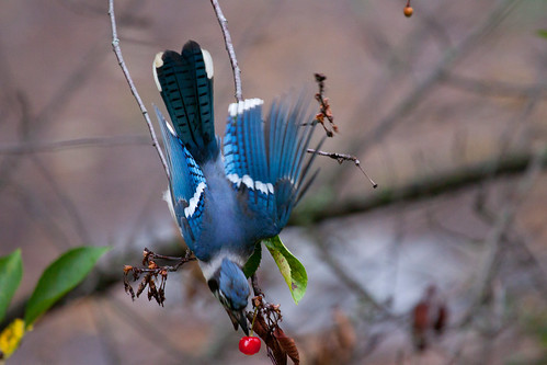Blue Jay grabbing one of the last cherries