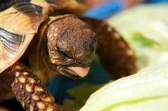 DSC_9173.jpg (train.thomas) Tags: summer sun fun essen turtle eating feed bodensee konstanz bit tier panzer schildkrte beissen