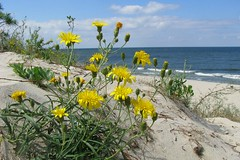 flowers on dunes (green_lover (I wait for your COMMENTS!)) Tags: flowers sea beach nature water landscape dunes poland baltic piaski bałtyk