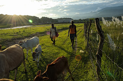 return (Saptak Ganguly) Tags: life light india field nikon cows sunburst sukna returning siliguri d90 northbengal lifeinindia