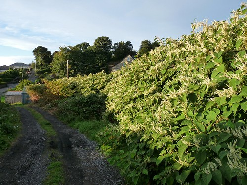 22383 - Japanese Knotweed