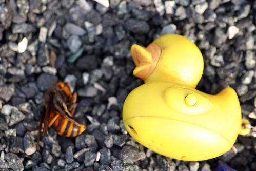 Vespa mandarinia vs Pato