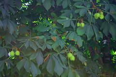 Aesculus hippocastanum - Castaño de Indias - Hojas Fruto