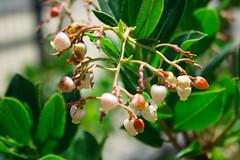 Arbutus unedo - Madroño - Flor