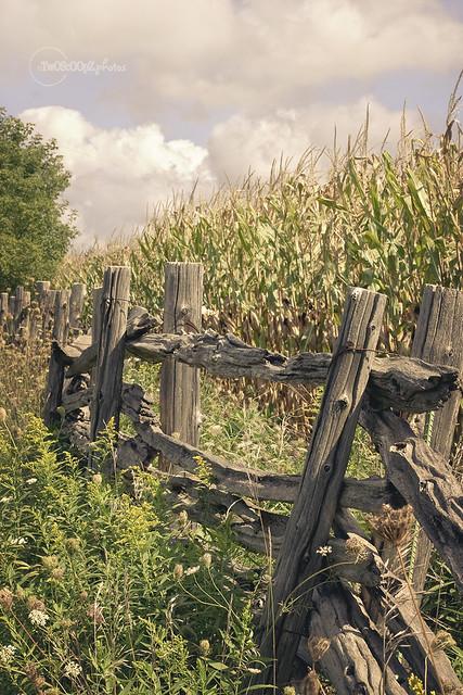 corn fence 253/365